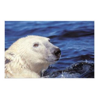 Norteamérica, Círculo Polar Ártico. Oso polar Cojinete