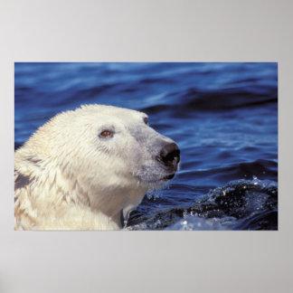 Norteamérica, Círculo Polar Ártico. Oso polar Póster
