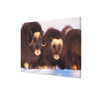 Norteamérica, los E.E.U.U., Alaska, Círculo Polar  Lienzo Envuelto Para Galerías