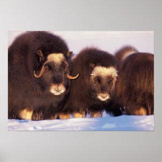 Norteamérica, los E.E.U.U., Alaska, Círculo Polar  Póster