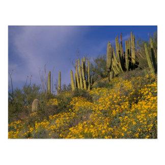 Norteamérica, los E.E.U.U., Arizona, cactus del Tarjeta Postal