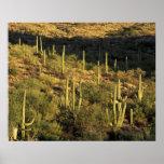 Norteamérica, los E.E.U.U., Arizona, desierto de S Póster