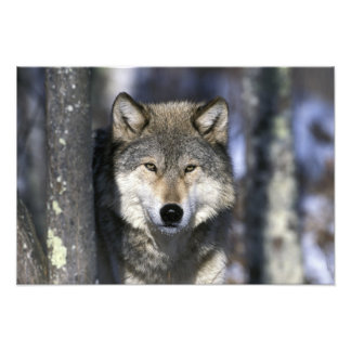 Norteamérica, los E.E.U.U., Minnesota. Canis 2 del Cojinete
