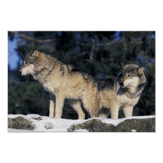 Norteamérica, los E.E.U.U., Minnesota. Canis 2 del Póster
