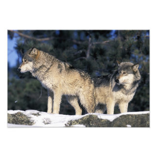 Norteamérica, los E.E.U.U., Minnesota. Canis 3 del Fotografias