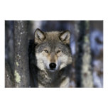 Norteamérica, los E.E.U.U., Minnesota. Canis del l Impresiones
