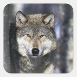 Norteamérica los E E U U Minnesota Canis del l Calcomanías Cuadradas Personalizadas