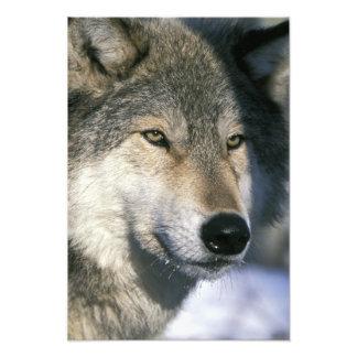 Norteamérica, los E.E.U.U., Minnesota. Canis del l Impresiones Fotograficas