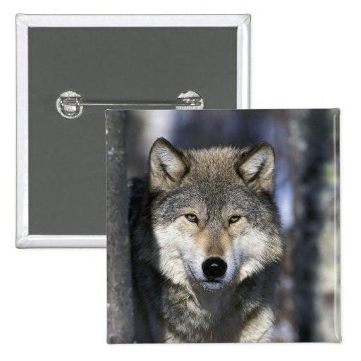 Norteamérica, los E.E.U.U., Minnesota. Canis del l Pin