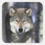 Norteamérica, los E.E.U.U., Minnesota. Canis del Calcomanías Cuadradas