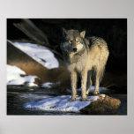 Norteamérica, los E.E.U.U., Minnesota. Lobo (Canis Posters