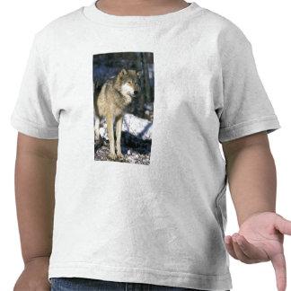 Norteamérica, los E.E.U.U., Minnesota. Lobo (Canis Camiseta