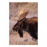 Norteamérica, los E.E.U.U., Wyoming, Teton magnífi Cojinete