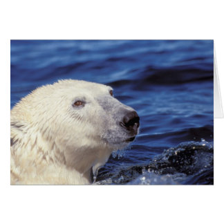 North America, Arctic Circle. Polar bear Card