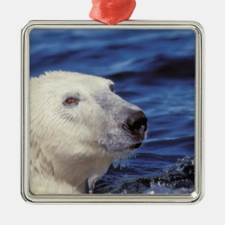 North America, Arctic Circle. Polar bear Metal Ornament