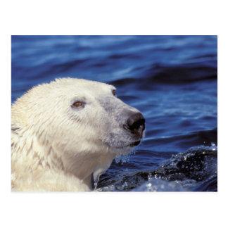 North America, Arctic Circle. Polar bear Post Card