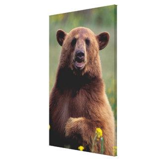 North America, California, cinnamon Black bear Stretched Canvas Prints