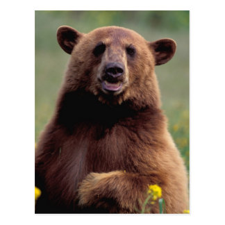 North America, California, cinnamon Black bear Postcard