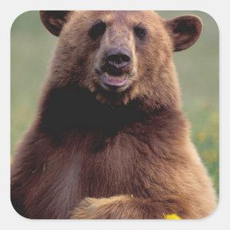 North America, California, cinnamon Black bear Square Sticker