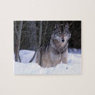 North America, Canada, Eastern Canada, Grey wolf Jigsaw Puzzle