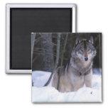 North America, Canada, Eastern Canada, Grey wolf 2 Inch Square Magnet