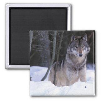 North America, Canada, Eastern Canada, Grey wolf Magnet