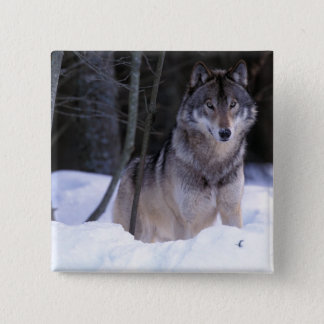 North America, Canada, Eastern Canada, Grey wolf Pinback Button