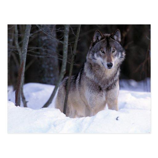 North America, Canada, Eastern Canada, Grey wolf Post Cards