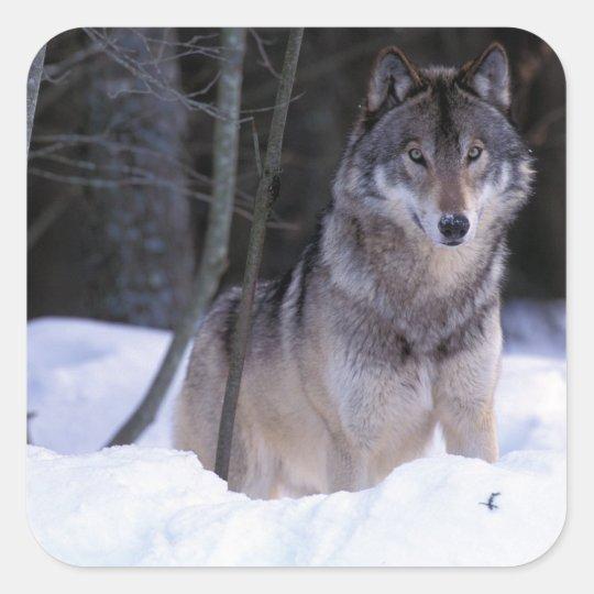 North America, Canada, Eastern Canada, Grey wolf Square Sticker