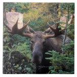 "North America, Canada, Nova Scotia, Cape Breton Ceramic Tile<br><div class=""desc"">COPYRIGHT Patrick J. Wall / DanitaDelimont.com | CN07 PWA0062.jpg | North America,  Canada,  Nova Scotia,  Cape Breton Highlands National Park,  Bull Moose (Alces alces)</div>"