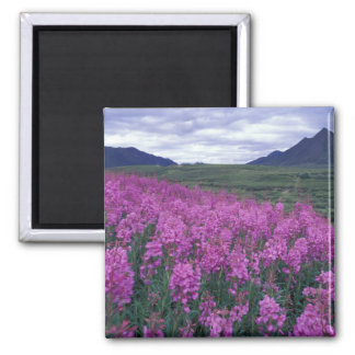 North America, Canada, Yukon. Fireweed blooms 2 Inch Square Magnet