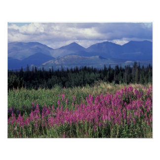 North America, Canada, Yukon. Fireweed blooms Poster