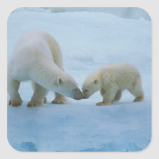 North America, Canadian Arctic. Polar bear and Square Sticker