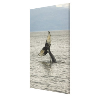 North America, USA, AK, Inside Passage. Humpback Canvas Print