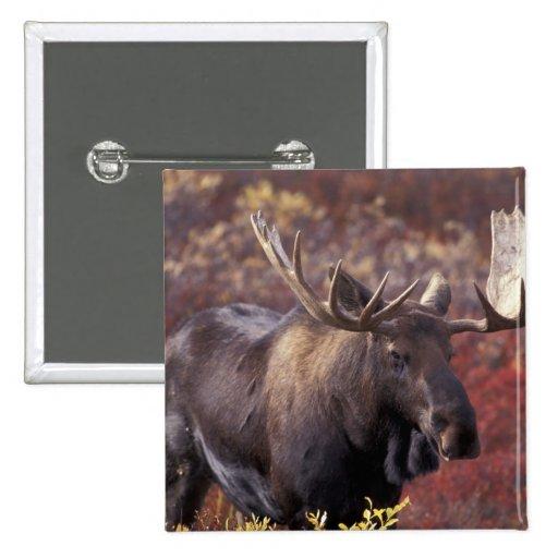 North America, USA, Alaska, Denali NP. Alces Pinback Buttons