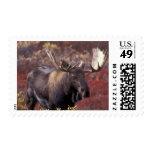 North America, USA, Alaska, Denali NP. Alces Postage Stamp