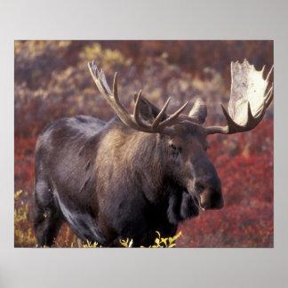 North America, USA, Alaska, Denali NP. Alces Poster