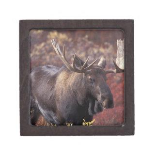 North America, USA, Alaska, Denali NP. Alces Premium Keepsake Boxes