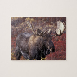 North America, USA, Alaska, Denali NP. Alces Jigsaw Puzzles