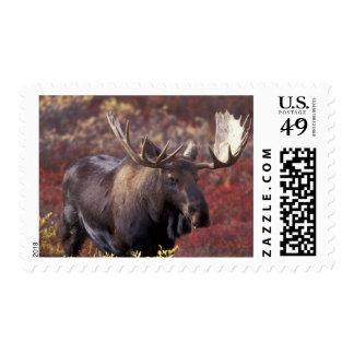 North America, USA, Alaska, Denali NP. Alces Stamp