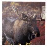 North America, USA, Alaska, Denali NP. Alces Ceramic Tile
