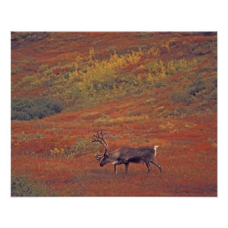 North America, USA, Alaska, Denali NP, Tundra. Poster