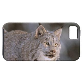 North America, USA, Alaska, Haines. Lynx (Felis 2 iPhone 5 Case