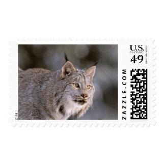 North America, USA, Alaska, Haines. Lynx (Felis 2 Postage
