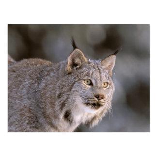North America, USA, Alaska, Haines. Lynx (Felis 2 Postcard