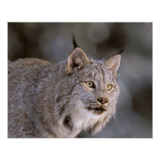 North America, USA, Alaska, Haines. Lynx (Felis 2 Poster