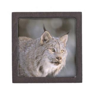North America, USA, Alaska, Haines. Lynx (Felis 2 Premium Keepsake Boxes