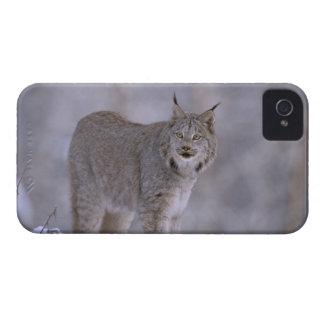 North America, USA, Alaska, Haines. Lynx (Felis iPhone 4 Cases