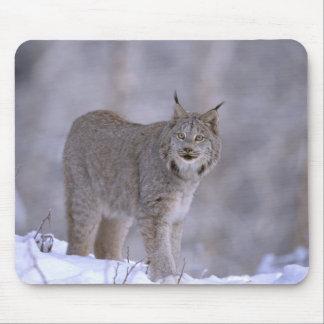 North America, USA, Alaska, Haines. Lynx (Felis Mouse Pad