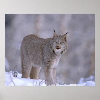 North America, USA, Alaska, Haines. Lynx (Felis Poster